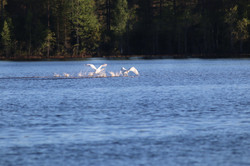 Bird photographing tours in Finland