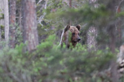 Bear photographing tours in Finland