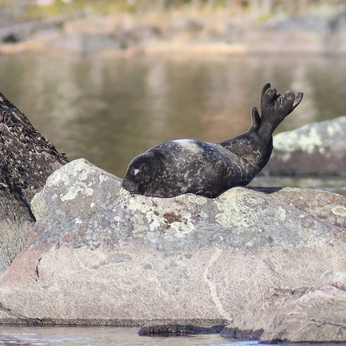 saimaa ringed seal kayaking & photographing