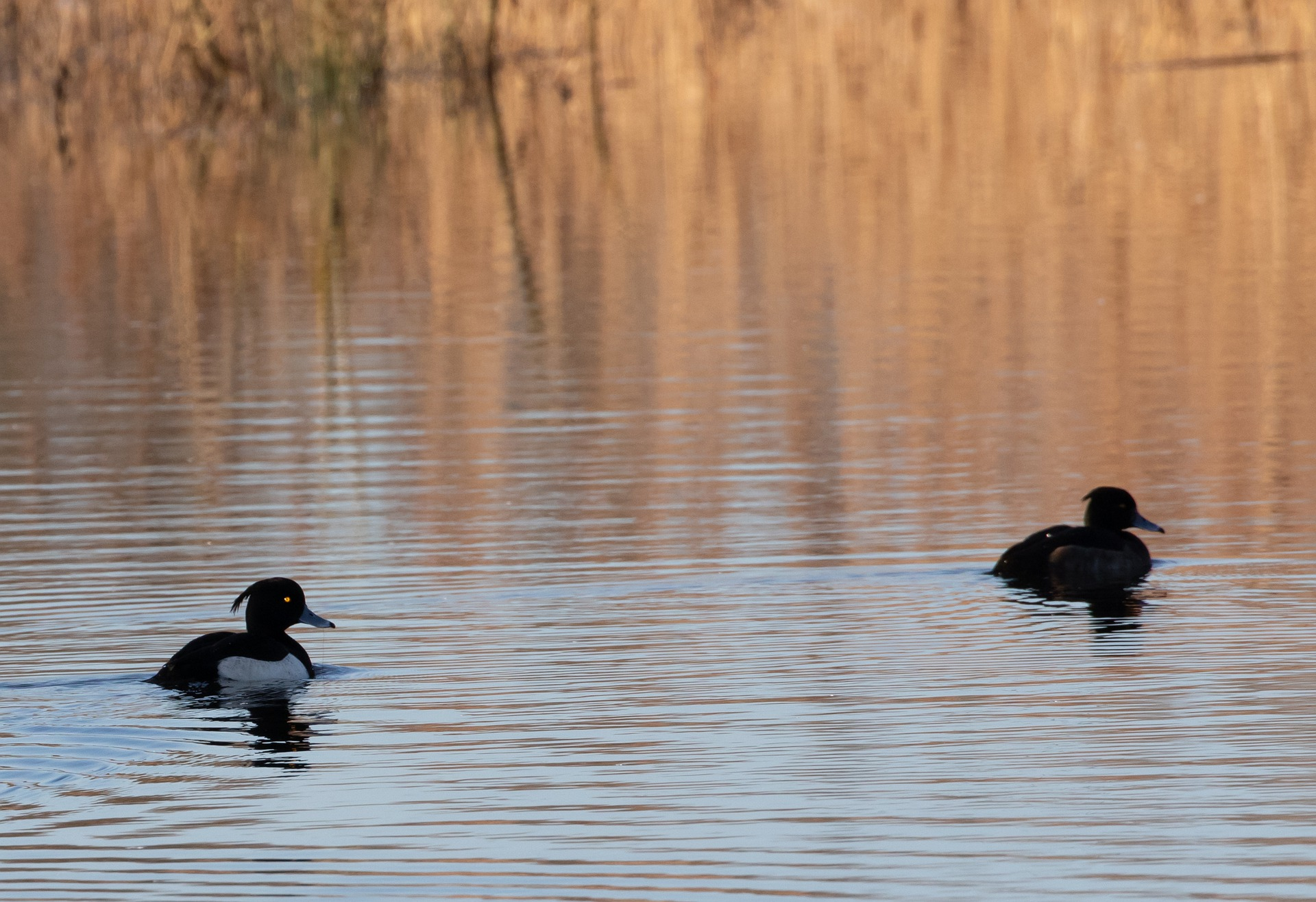 tufted-duck-bird-photography-tours-hikesntrails.com