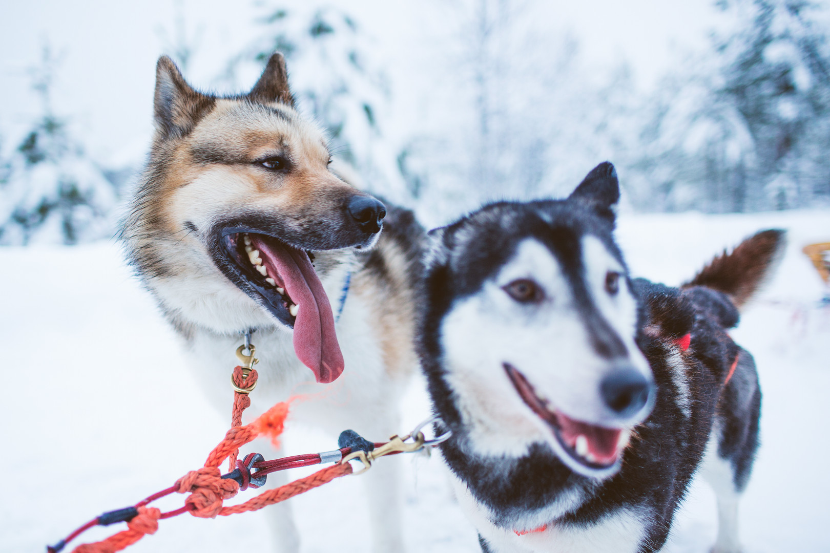 Husky sled tour in South Lapland
