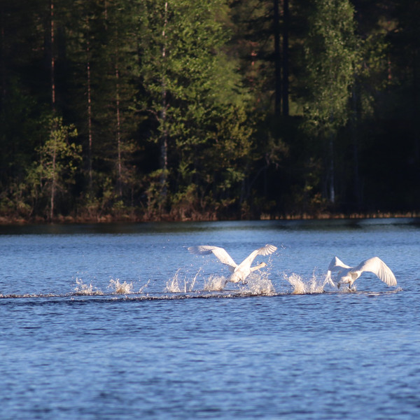 Swans in South Lapland
