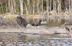 Seal photographing tours in Finland