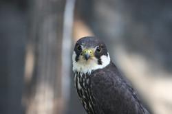 falcon-eurasian- hikesntrails.com