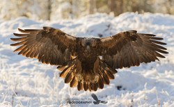 Eagle photographing tours in Finland