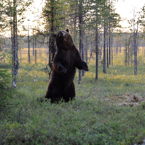 Brown Bear in South Lapland Wildlife & culture tour
