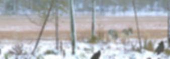 wolves2_edited.jpg
