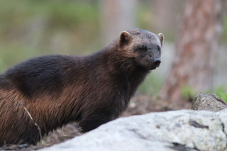 wolverine photographing tours south lapland outdoors