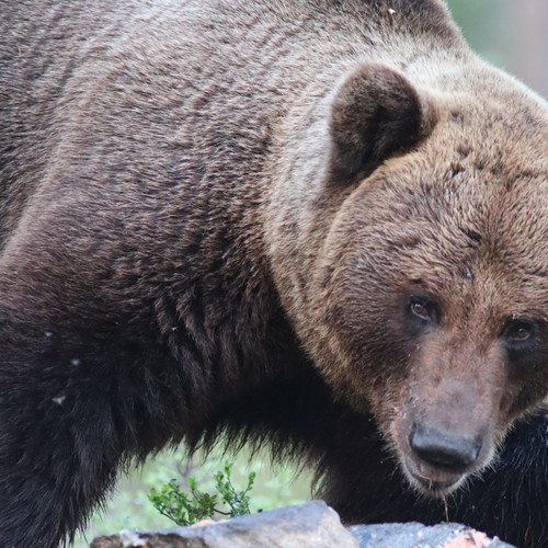 Bear in wildlife & culture tour in South Lapland