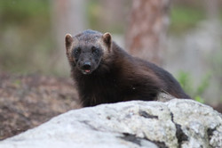 Wolverine photographing tours in Finland