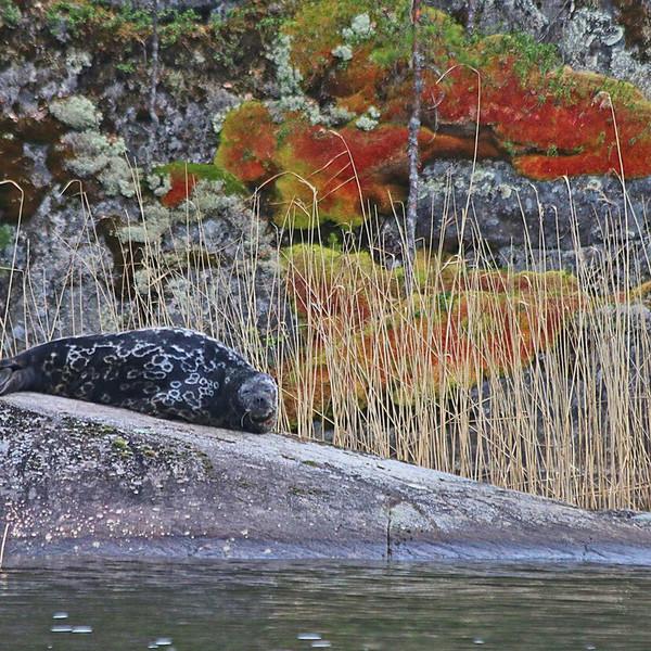Linnansaari National Park Saimaa seal photographing tours