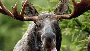 FUN FACT: What do you suppose an average male Moose weighs?