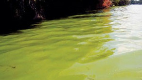 Health Unit confirms Blue-Green Algae Bloom at Weismiller Bay on Lake Muskoka