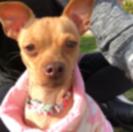 K911 ResQ, Dog Rescue in Torrance. Adoptable Dog: Peanut