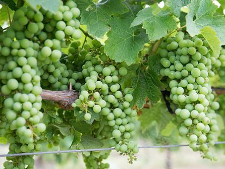 Vinho Chardonnay: O Guia Definitivo