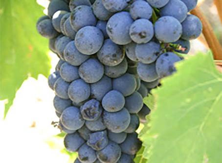 A incrível lenda do vinho chianti