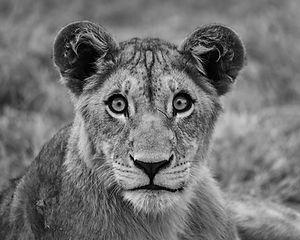 lionsbw.jpg