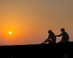 langurs at sunset.jpg