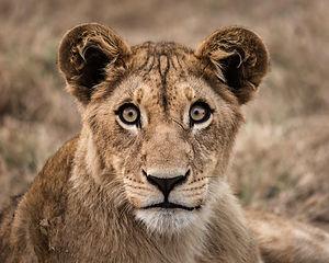 lionscol.jpg
