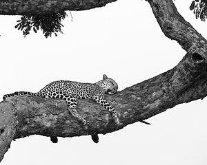 leopardtree.jpg