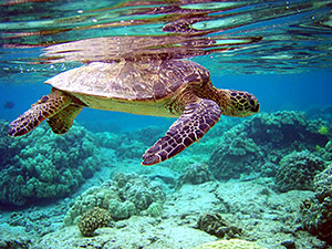 A turtle swims over coral in the bright green and blue water