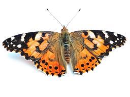butterflies_18.png