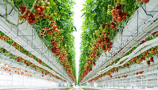 TomatoMasters-9.jpg