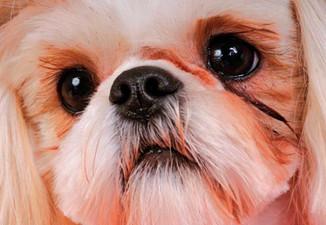Espaço Pet: Olhos lacrimejantes em seu cão o que pode ser?
