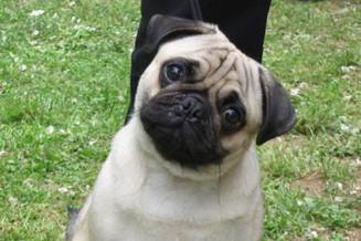 Espaço Pet: Cães de focinho achatados merecem cuidados especiais