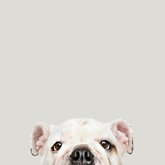 adorable-white-bulldog-puppy-portrait.jp
