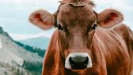 Boehringer Ingelheim - #CattleFirst