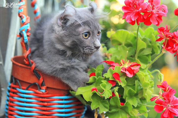 котёнок американский кёрл, породы кошек, самые породы кошек, описание пород кошек, уши кошек порода, красивые породы кошек, кошки породы фото цена,