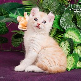 американский керл описание породы, кошка собака порода, самые умные породы кошек, необычные породы кошек, редкие породы кошек, ласковые породы кошек, короткошерстные породы кошек, самые красивые породы кошек,