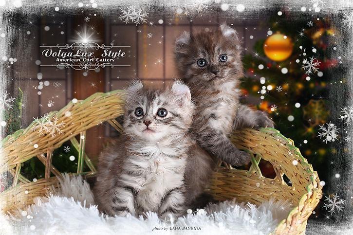 котята американский кёрл, купить котёнка, кошка питомник,  лучший питомник кошек, профессиональный питомник кошек, красивые котята фото,
