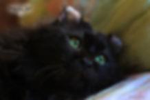 кот американский кёрл фото, чёрный кёрл