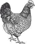 Eden høne.jpg