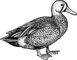 Duck_edited.jpg
