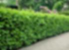 laurel hedging 1.PNG