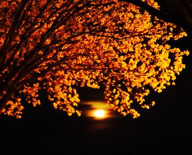 """Moon Blossoms"""