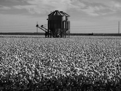 """""""Cotton Fields"""""""