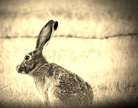 """Texas Jackrabbit"""