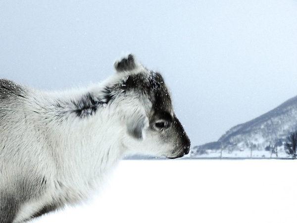 Norway deer.jpg
