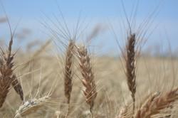Wheat Harvest 19