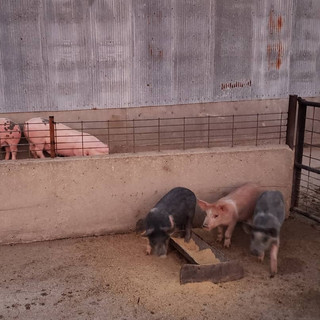 Hogs in the JFF facility.jpg