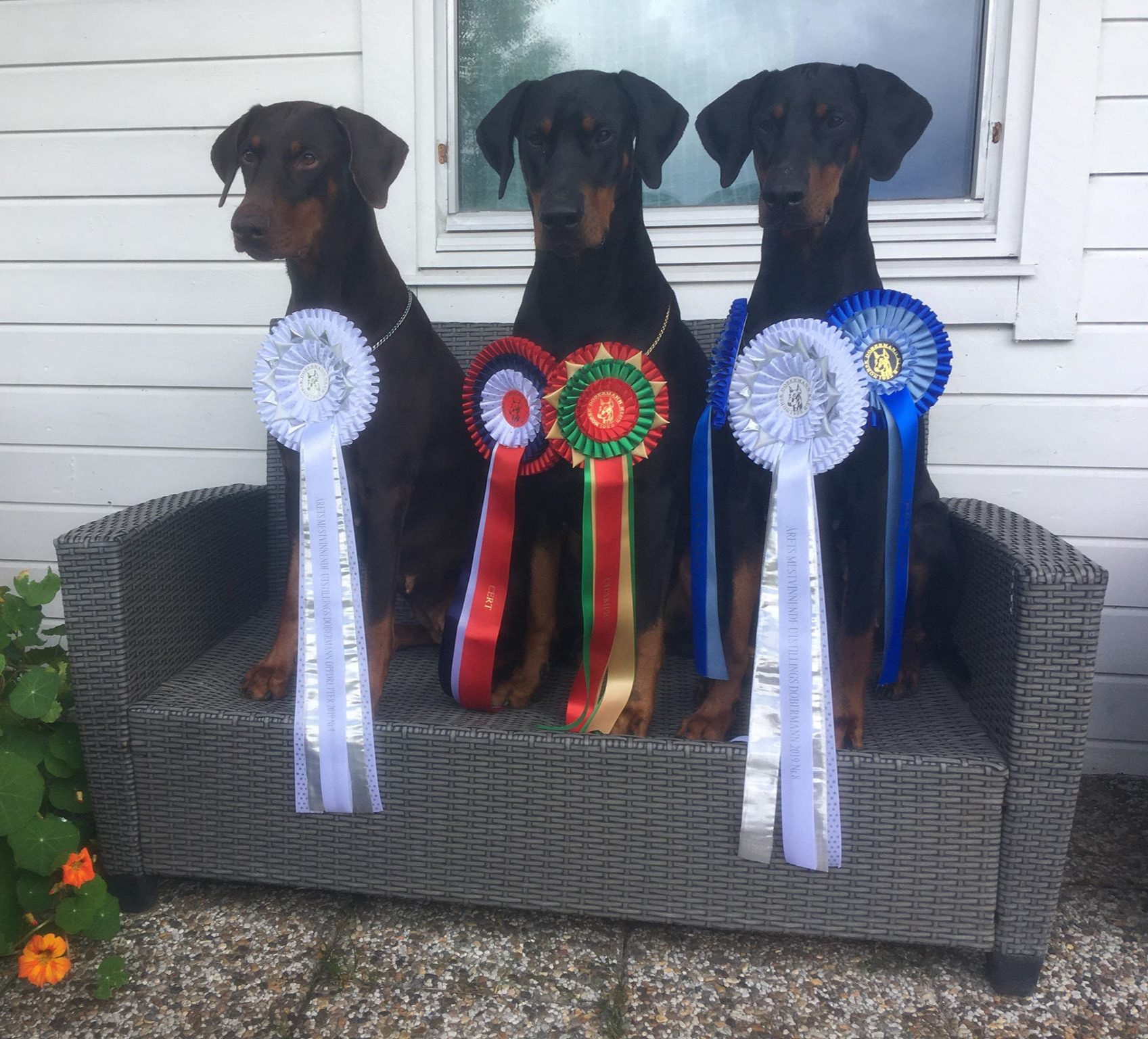 a new CH, 2 RES.CAC 6 Winners rosettes from 2019 competitions