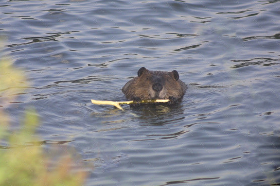 13a busy as a beaver.jpg