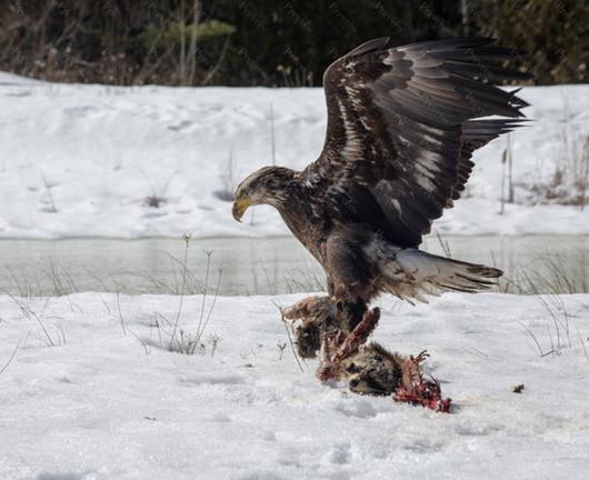 112 Bald Eagle Northport.jpg