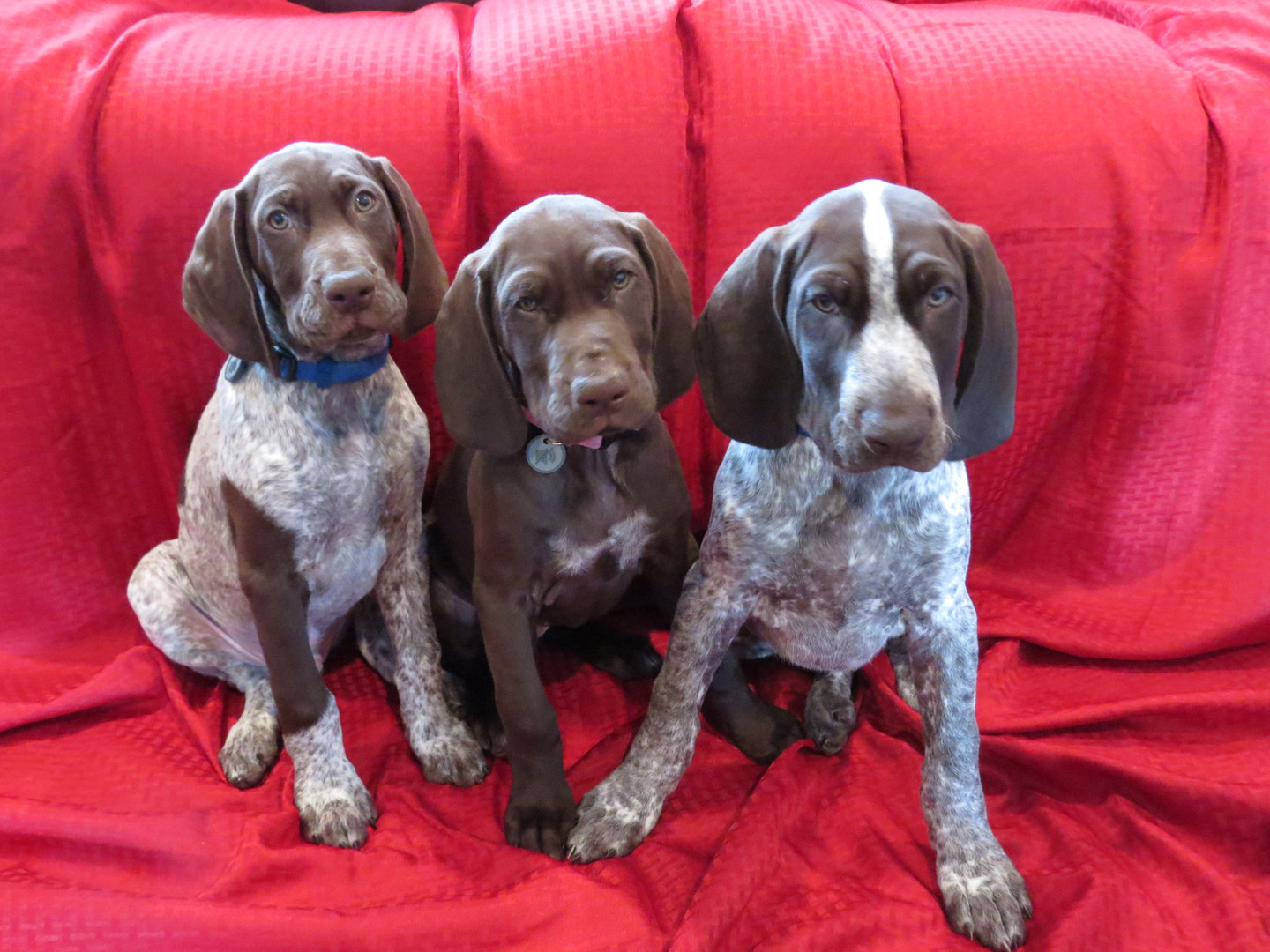 'A' Litter - 9 weeks old