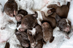 C Litter Puppy Pile - 2 weeks old