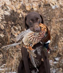 Late season pheasant hunt